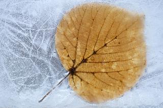 Frozen_aspen_leaf_small2