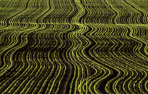 Wheat_field_medium