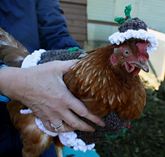 Christmas_pudding_chicken_coat_small