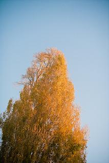 Poplar_tree_small2