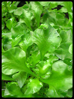 Watercress1_small2