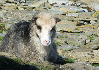 Panda-eyed_north_ronaldsay_sheep_s2_small2