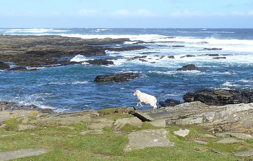 North_ronaldsay_sheep_t1_medium