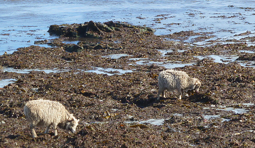 North_ronaldsay_sheep_t3_medium