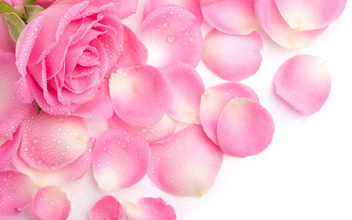1000-petalas-de-rosas-cor-rosa-artificiais-artificial-14514-mlb4443499509_062013-f_medium
