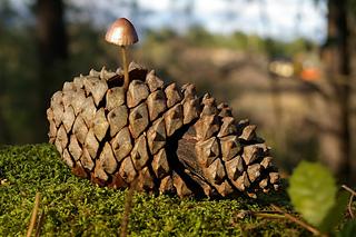 Champignon-dans-sa-pomme-de-pin-0bb5a081-a45a-483c-adfe-ded718da1c1e_small2
