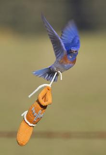 Bluebird_flying_close_small2