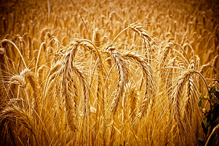 Golden_cornfield_by_wildfox76-d5bexp9_small2