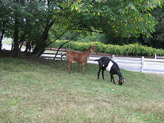 12_historic_oak_view_county_park_goats_small2