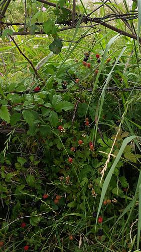 Dewberries__2__medium