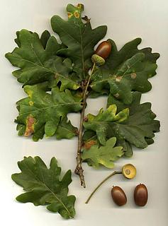Quercus_robur_small2