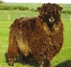Lcies_longwool_sheep_pic_small