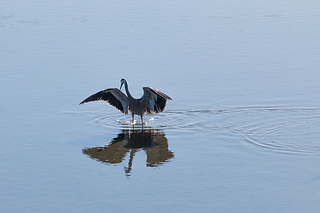 Heron-jumps-01_small2