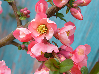 Quince_flower_4-150c_small2