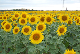 Sunflowers_sammyf_france_3_2_small2